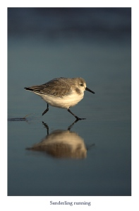 DannyGreen_11%20Sanderling%20running%201